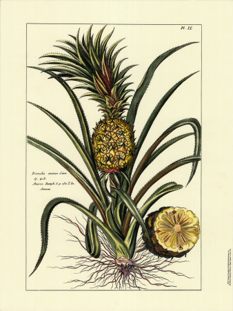 pineapple ananas comosus skin and dusol Pineapple is the common name for low-growing, fruit-bearing, tropical plants of the species ananas comosus (also known as a sativus) in the bromeliad family (bromeliaceae) it is also the name for the large, edible, multiple fruit of this plant.