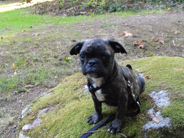 Little baby Frink the Frug (Frenchie pug)